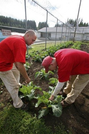 Inmates Robert Day (left) and Brian Deboer (right) check on plants in one of the organic gardens at the Cedar Creek Corrections Center in rural southwest, Washington, on Friday. The minimum-security prison has adopted many environmental and cost saving practices. Credit: AP/John Froschauer