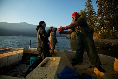 Fall chinook harvest on the upper columbia